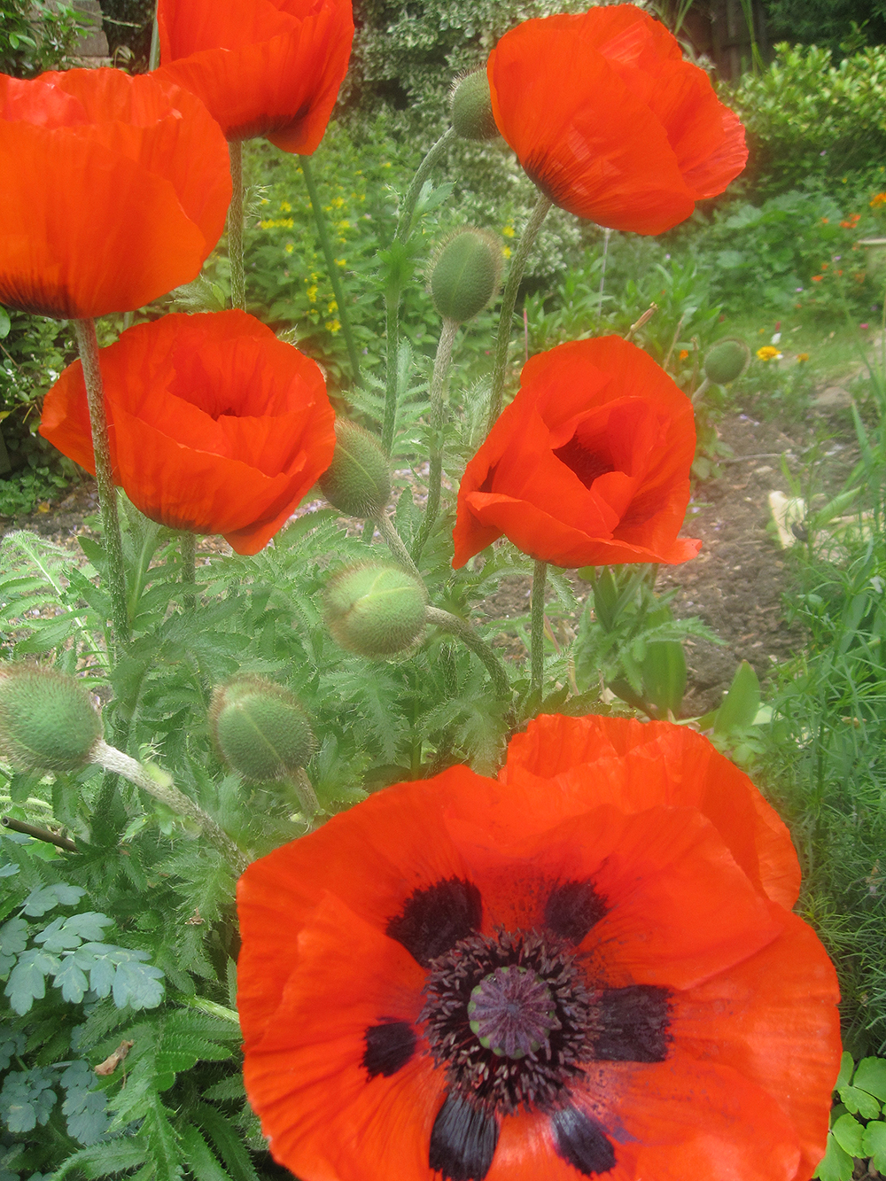 Poppies Are Not Just For Remembrance Patrickgoff