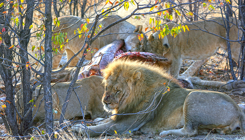 the lionesses tuck in to a giraffe behind the master of the pride, who has already eaten his fill