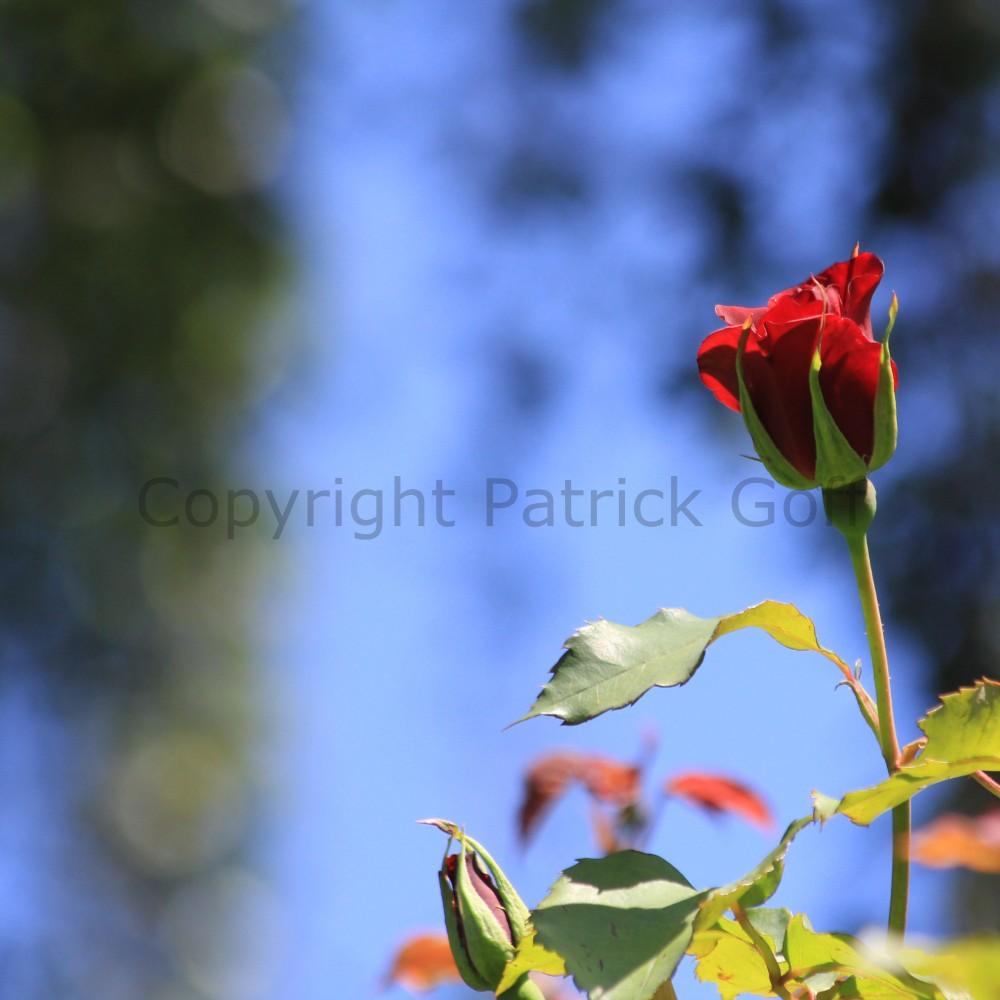 English rose 009