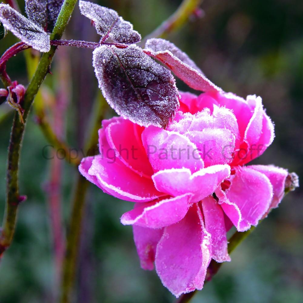 English Rose #2 014